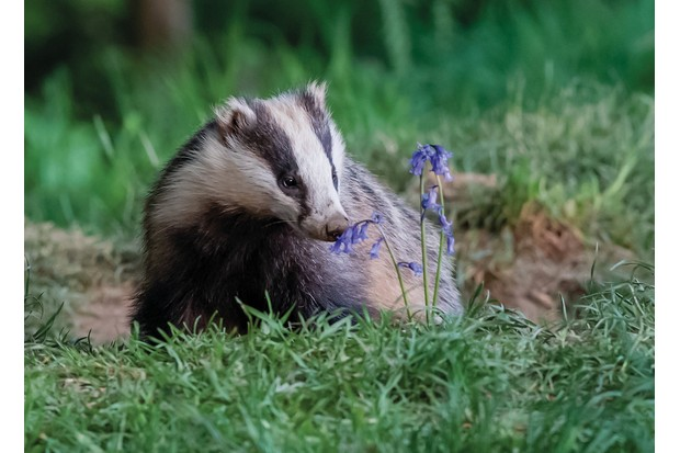 Badger and bluebell