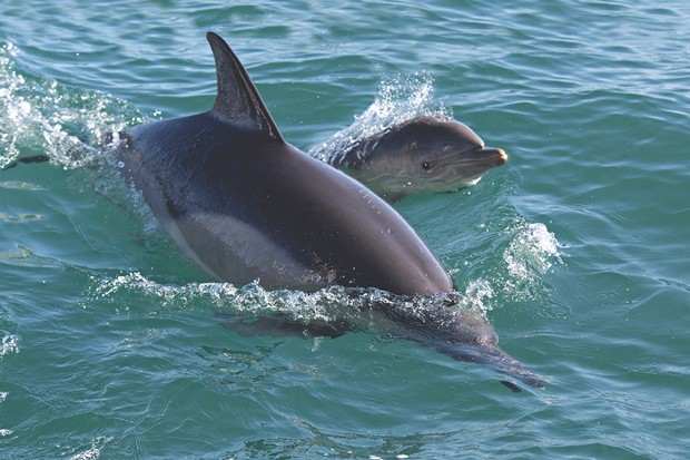 Dolphins at Ramsey Island, Wales