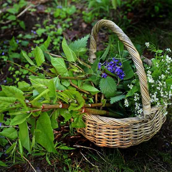 BOSTON, MA - MAY 16: A basket filled by Tyler Akabane while foraging for garlic mustard and Japanese knotweed around Turtle Pond, near Enneking Parkway in Boston, is pictured on May 16, 2019. If you cant beat them, eat them. Thats the approach Forage is taking to invasive species, one of five major forces threatening around 1 million animal and plant species with extinction according to the United Nations. Earlier this month, the Cambridge eatery hosted its first Eat Your Invasives dinner, a multicourse feast featuring invasive species like garlic mustard, Japanese knotweed, and Asian carp. (Photo by David L. Ryan/The Boston Globe via Getty Images)