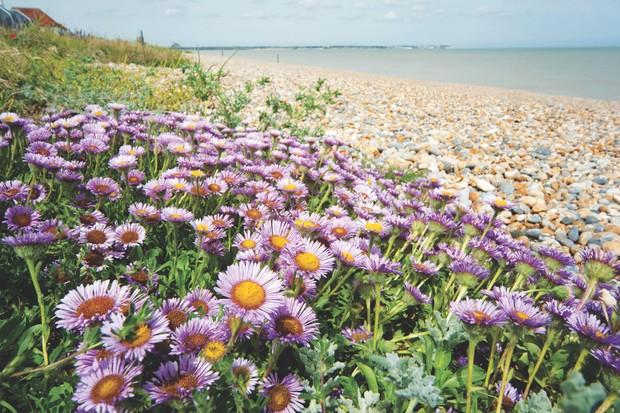 Aster Flowers, Family Asteraceae, growing wild on pebble beach, Sandwich Bay, Kent UK - Kent Wildlife Trust, wide angle showing habitat