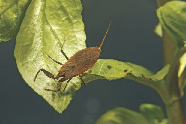 Water scorpion, Nepa cinerea
