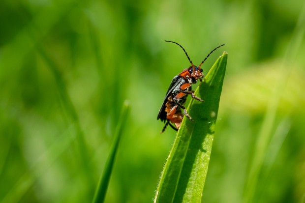 Beetle on a blade of grass