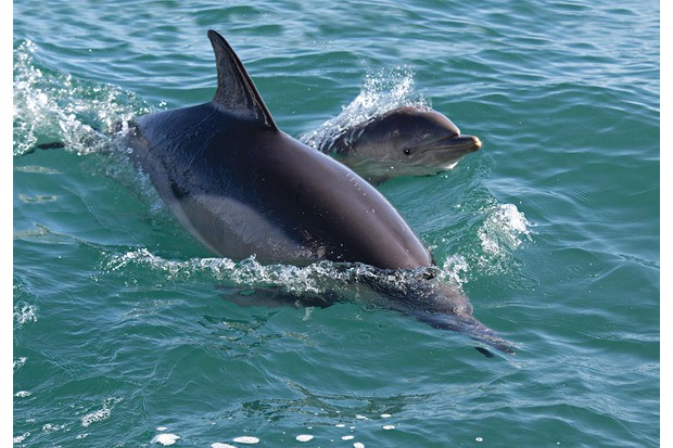 Bottlenose dolphins off the coast of Lligwy Bay, Anglesey