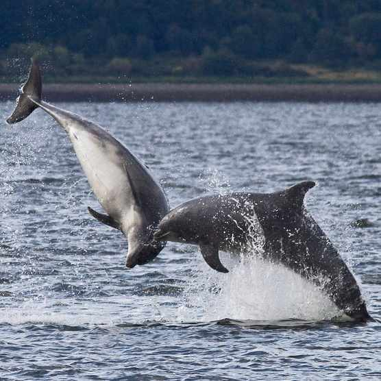 Bottlenose dolphins national marine week (Photo by: Harry Hogg via Wildlife Trust)