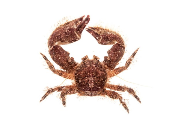 A Broad-clawed porcelain crab, Porcellana platycheles