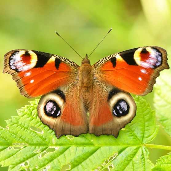 Peacock Butterfly Getty