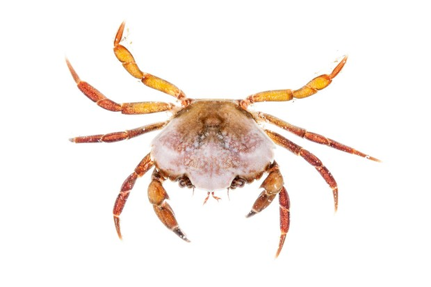 A Common (shore) crab