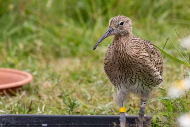 England's curlew population is set to be boosted by conservation project (Photo: WWT)