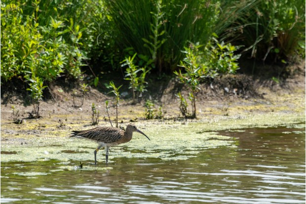Habitat loss has contributed to the decline of the UK's curlew population by almost half (Photo by: WWT)