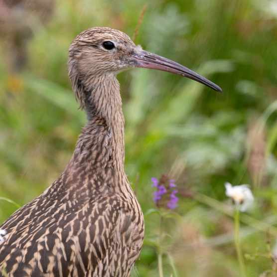Curlews have brown and grey feathers