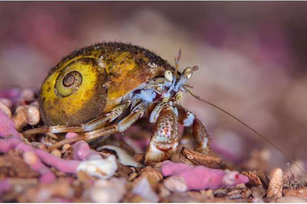 Hermit-crab-Alex-Mustard
