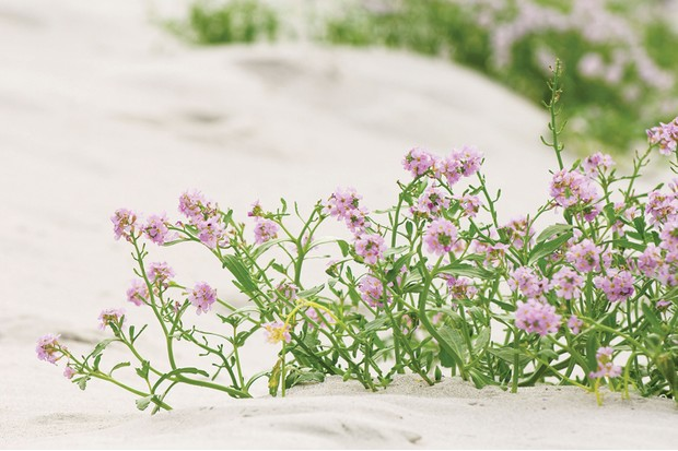 Pink sea rocket growing in the sand dunes