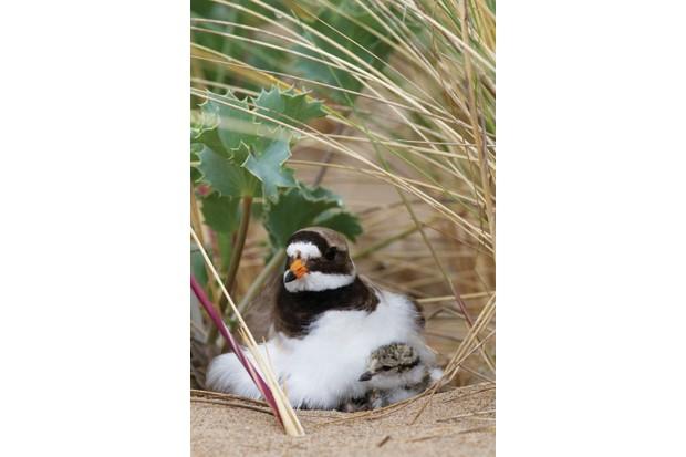 Ringed plover nesting in sand dunes