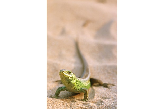 A rare sand lizard in the sand dunes