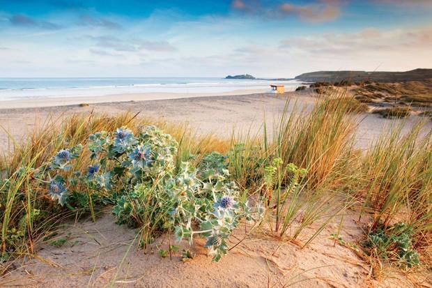 Sea holly on a sand dune