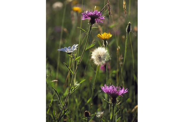 Spring flowerLorton Meadows, Dorset