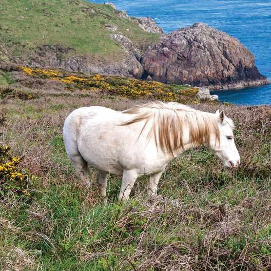 White wild pony