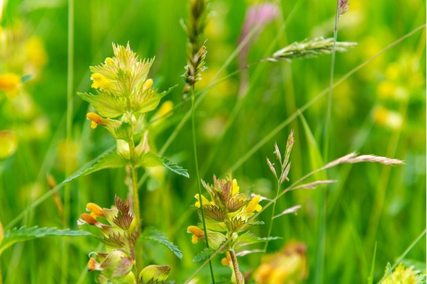 Yellow rattle, a meadow flower found in Hill Top Farm