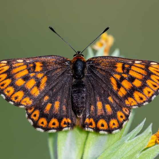 Hamearis lucina – Duke of Burgundy butterfly Getty