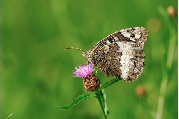 A grayling butterfly amongst marram grass