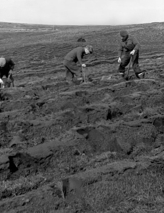 Planting Beach pine on Hoy, Orkney, Scotland, 1954