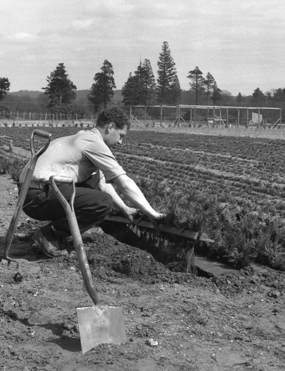 Planting Lawson Cypress in a trench. Elvetham Nursery, Bramshill, Hampshire 1958