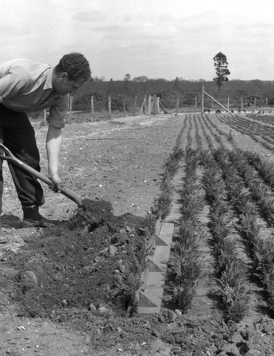 Filling in a trench at Elvetham Nursery Bramshill Forest, Hampshire, 1958