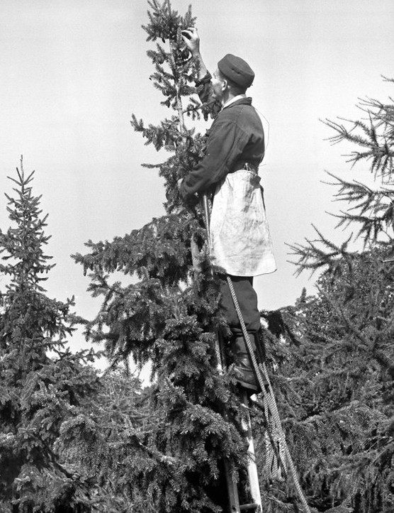 Picking cones from the top of a Serbian spruce, Alice Holt, Hampshire, England, 1963