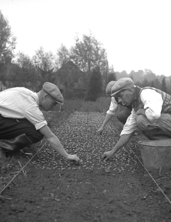 Sowing acorns in a large seed bed, Kennington, Oxfordshire, 1933