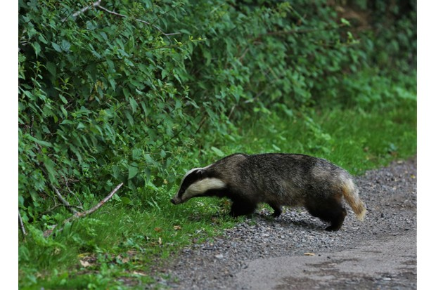 Badger on the road (Photo by: J B Lumix via Getty Images)
