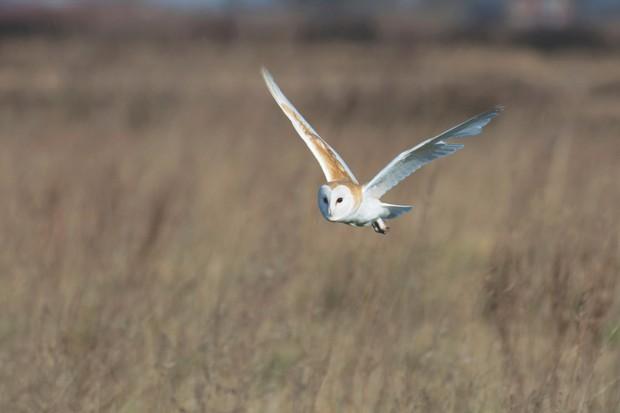 Barn Owl, Tyto alba, in flight