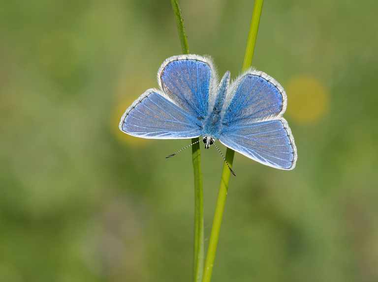 Summer heatwave boosts common blue butterfly population