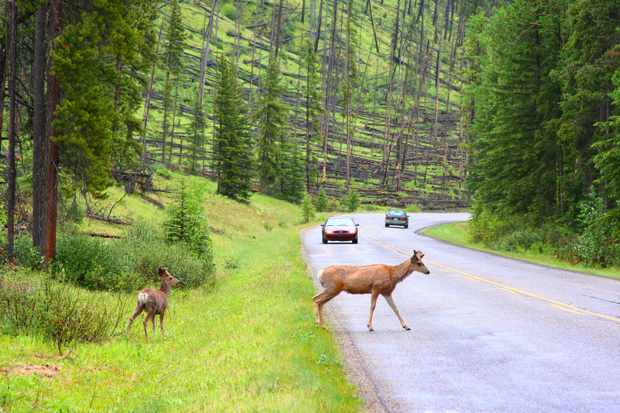 Deer in the road (Photo by: Ophir Michaeli via Getty Images)