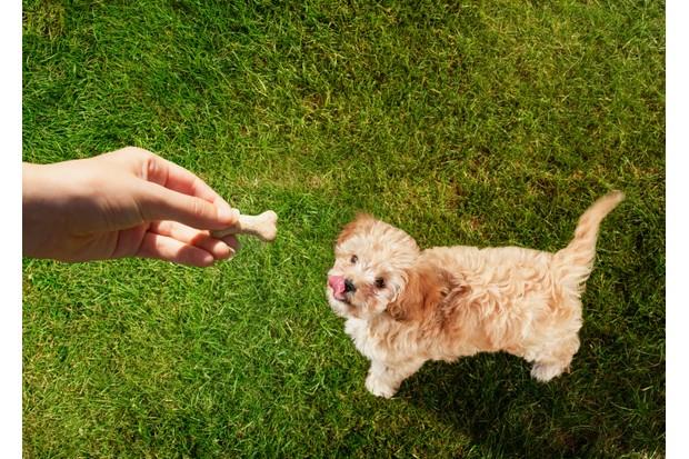 Dog eating dog treats