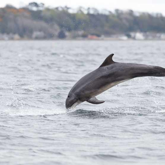 A dolphin in the Scottish Highlands (Photo by Wild and Free via Getty Images)