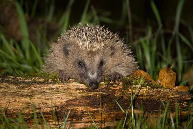 Hedgehog on log