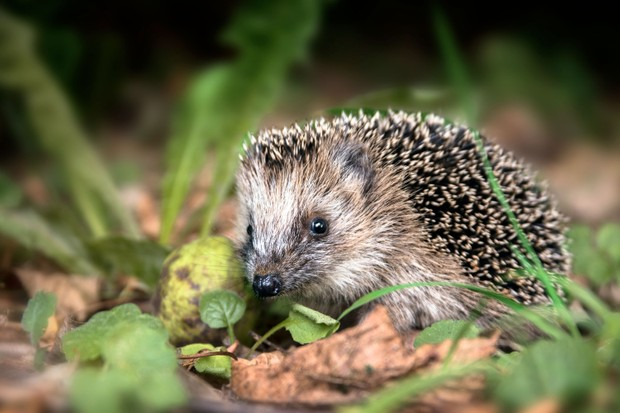 Hedgehog (Photo by: Maren Winter via Getty Images)