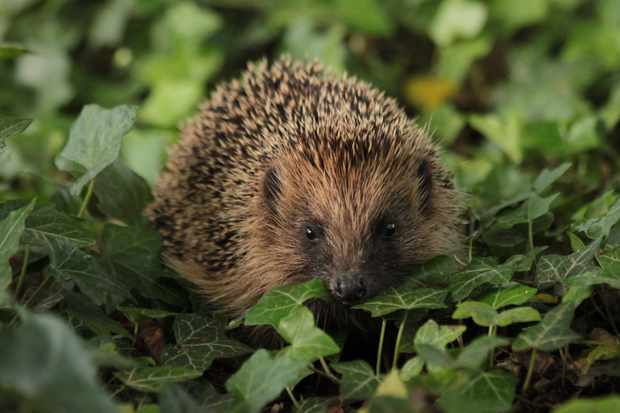 A hedgehog in the garden