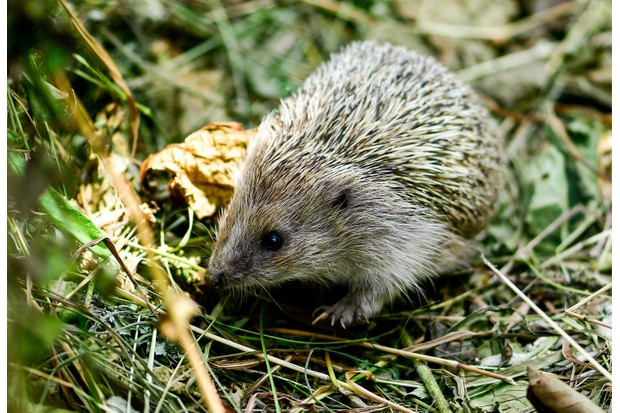 Hedgehog in the garden (Photo by: Yuri Smityuk via Getty Images)