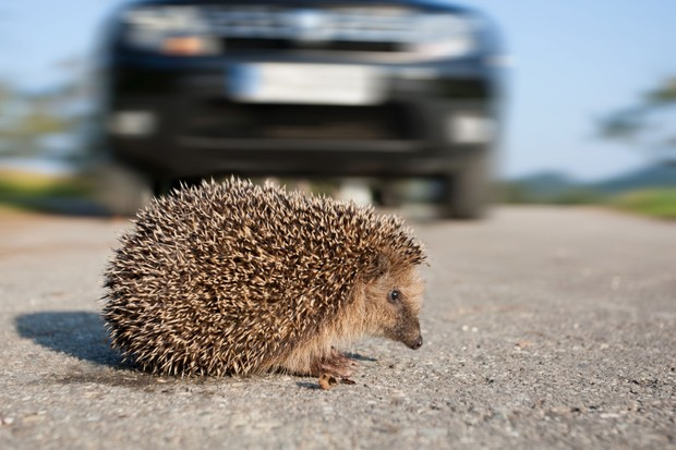 Hedgehog in the road (Photo by: Leoba via Getty Images)