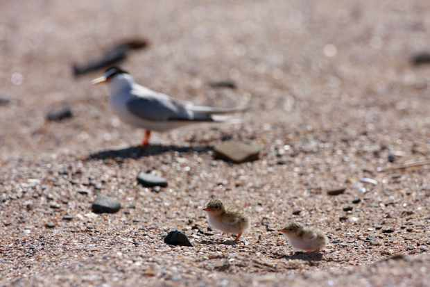 Little tern fledglings