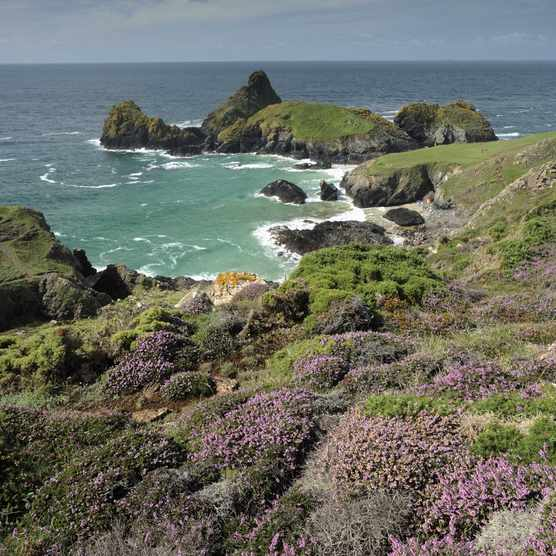 Maritime heather in flower in August and a view of the Kynance Cove, the Lizard Peninsula (Photo by: Ross Hoddinot for The National Trust)