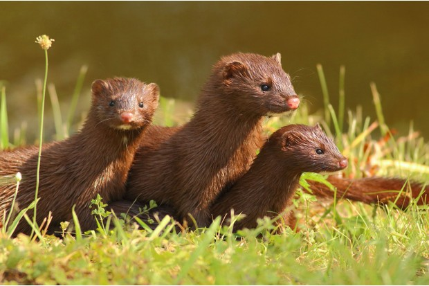 A mink with two kits