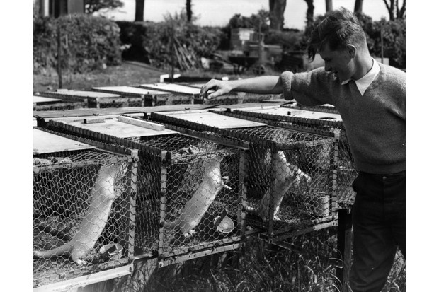 9th July 1958: 18-year-old Michael Hew inspects his minks at his farm in St Erth, Cornwall.