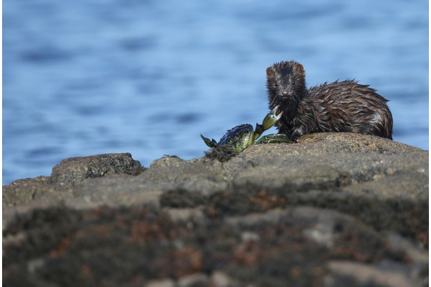 A mink snacks on a crab