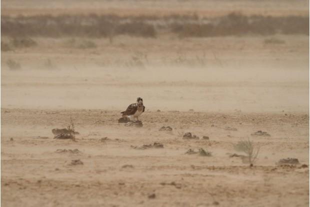 Osprey in the desert (Photo by: John Wright)