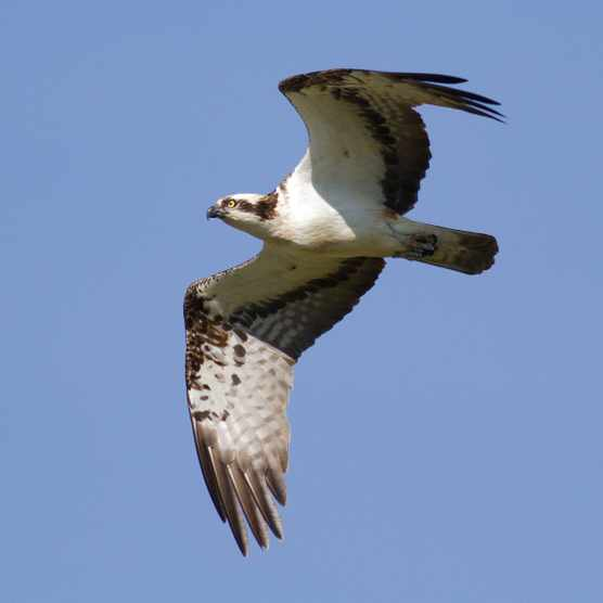 Osprey in flight (Photo by: John Wright)
