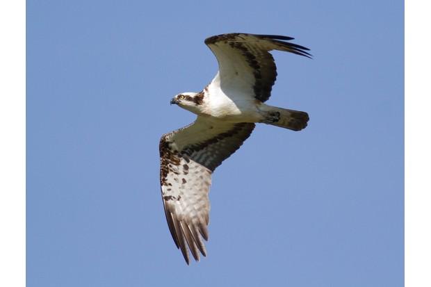 Osprey in flight (Photo by: John Wright)