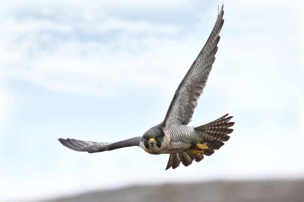 Female Peregrine Falcon taken in Wales, UK (Getty Images)