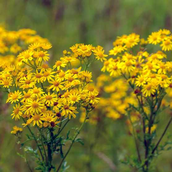 Ragwort in a green field (Photo by: RuudMorijn via Getty Images)